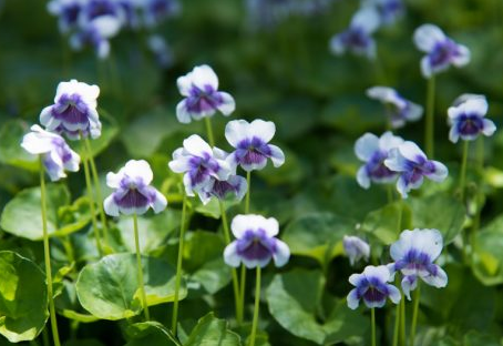 Native Violet - July Plant of the month