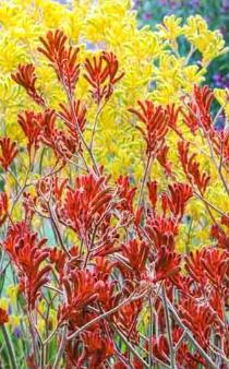 PLANT OF THE MONTH - KANGAROO PAW