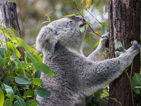 Benefits of planting Koala Food trees🐨