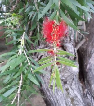 Plant of the month - Red Bottlebrush