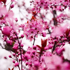 Can't wait for the #cherryblossoms to be
