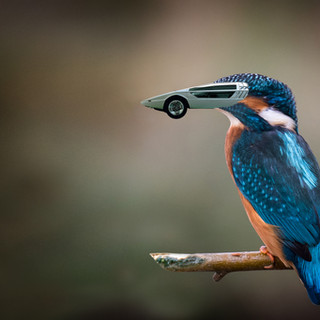 Boomerang Kingfisher