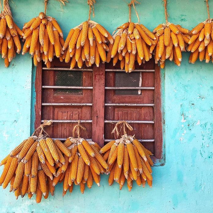corn in india.jpg