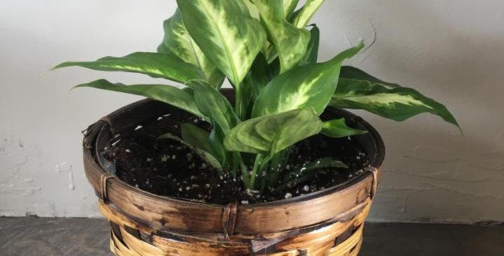 Medium Plant