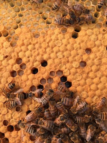 Capped Honey Bee Worker Pupae