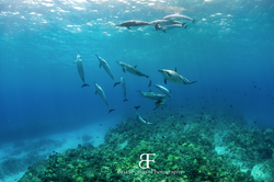 Bottlenose Dolphin Pod