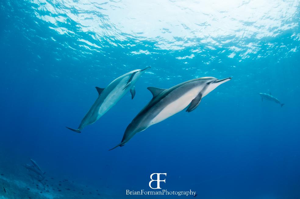Two Bottlenose Dolphin