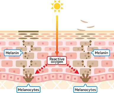肌の新陳代謝.png