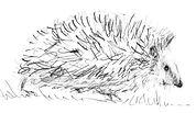 hedgehog drawing.jpg