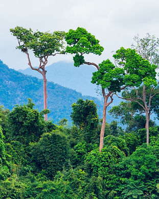 Lush green tropical rainforest with back