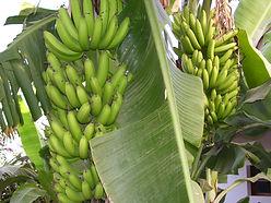 les bananes du p'tit bonheur