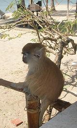 un petit singe roux ( patas )