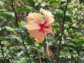 hibiscus panaché