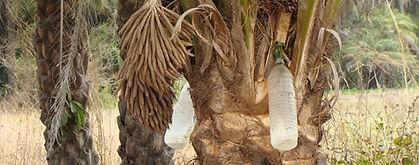 la récolte du vin de palme