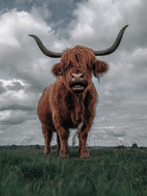 Highland Cow Stare Off