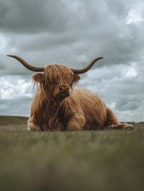Majestic Highland Cow