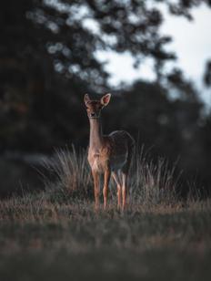 Fawn - Berkeley Deer Park