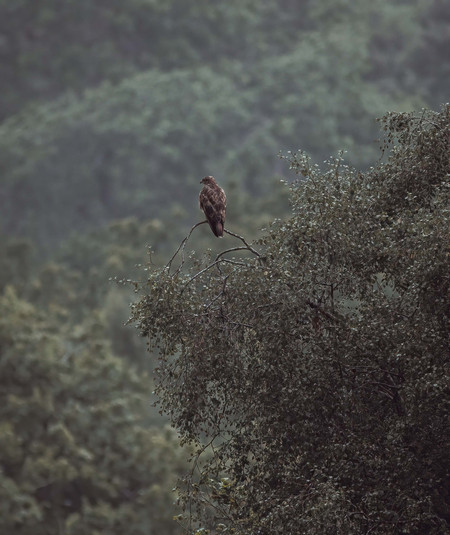 Perched Buzzard