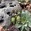 Thumbnail: Olea Europaea