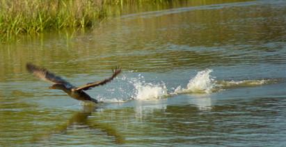 06-ChrisBain_KiawahShorebirds06.jpg
