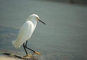 08-ChrisBain_KiawahShorebirds08.jpg