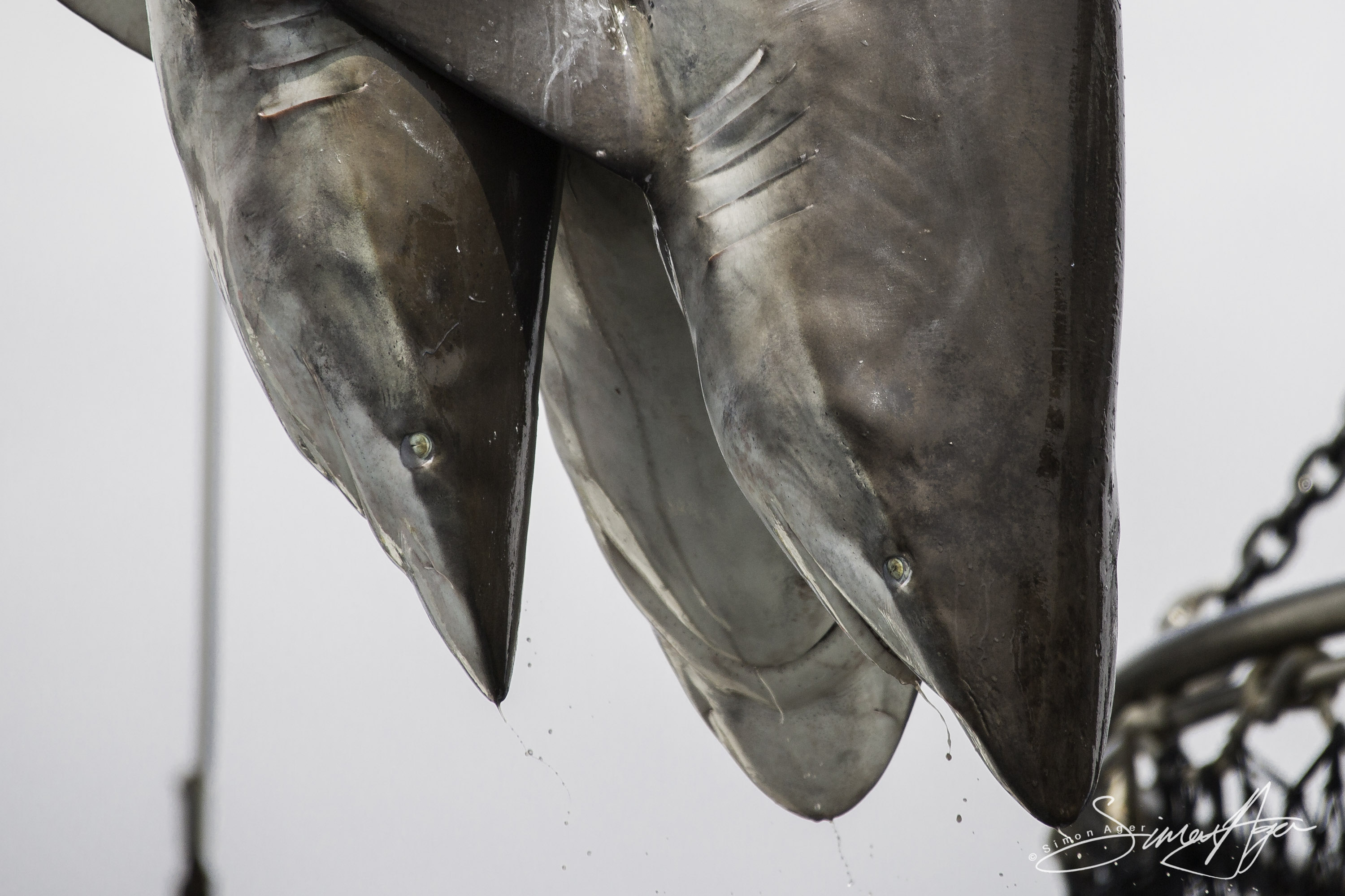 160704-SA-Geuotec-shark-bycatch-dumped-into-the-ocean-7059