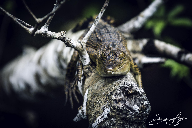 160618-SA-A5224 Juvenile Crocodiles