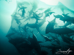 160613-SA-Playa-de-Ris-BB-crew-dive-on-net-as-it-hauled-in-1020406