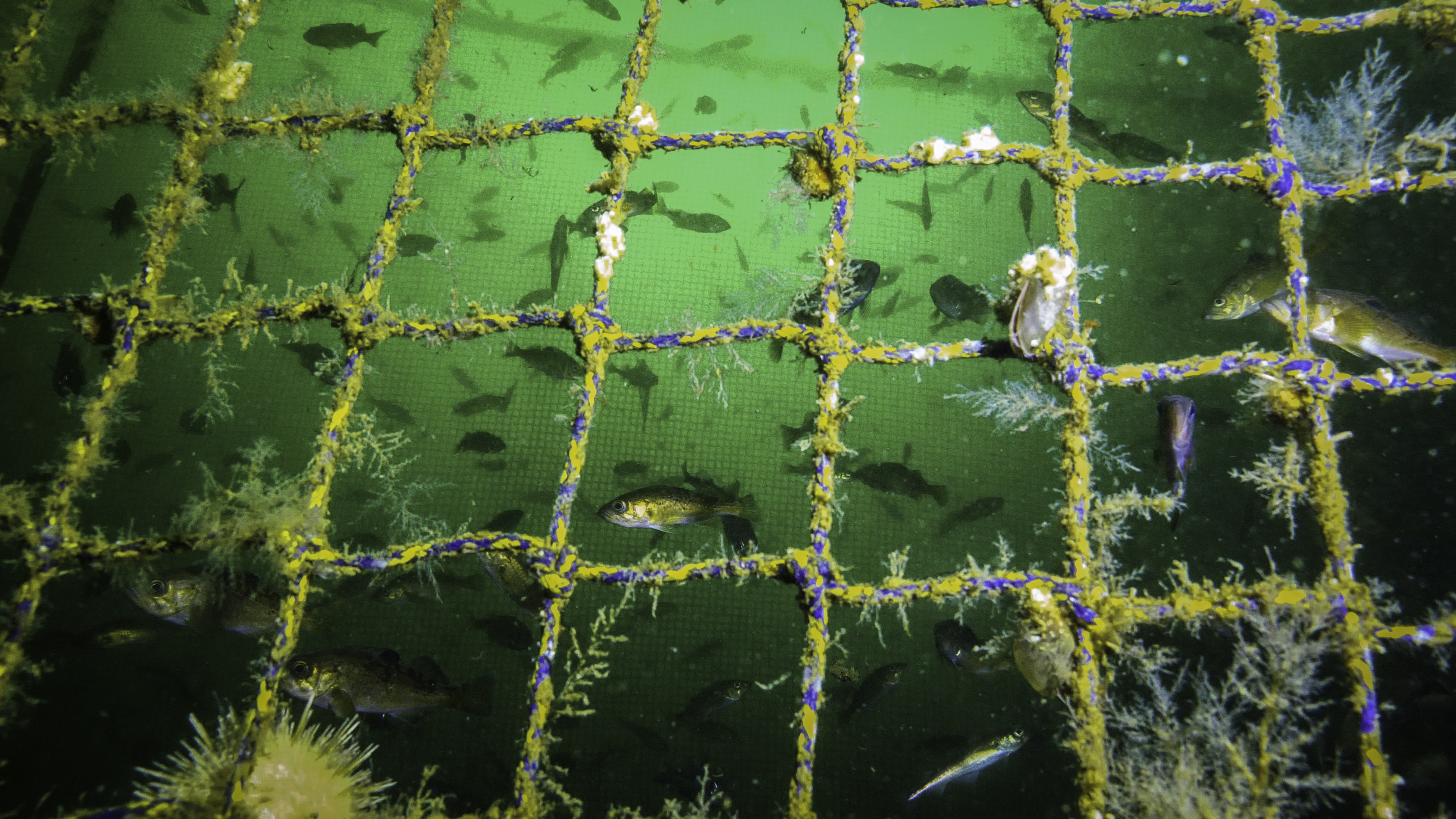 170817-SA-Schooling-wild-fish-bathe-and-feast-on-the-pathogen-loaded-feces-of-farmed-Atlantic-salmon