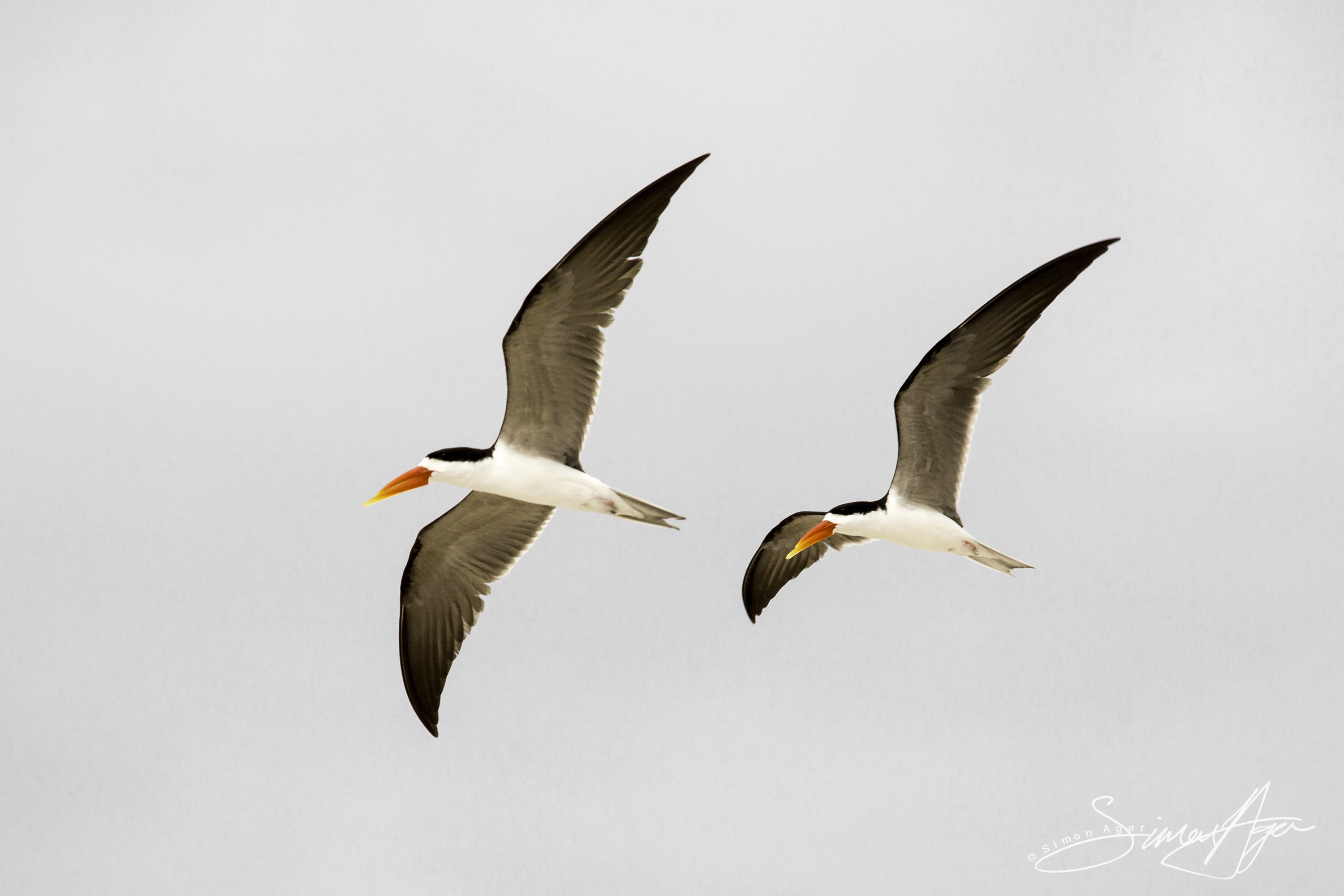 160705-SA-Myumba-Royal-Terns-fly-overhead-7148