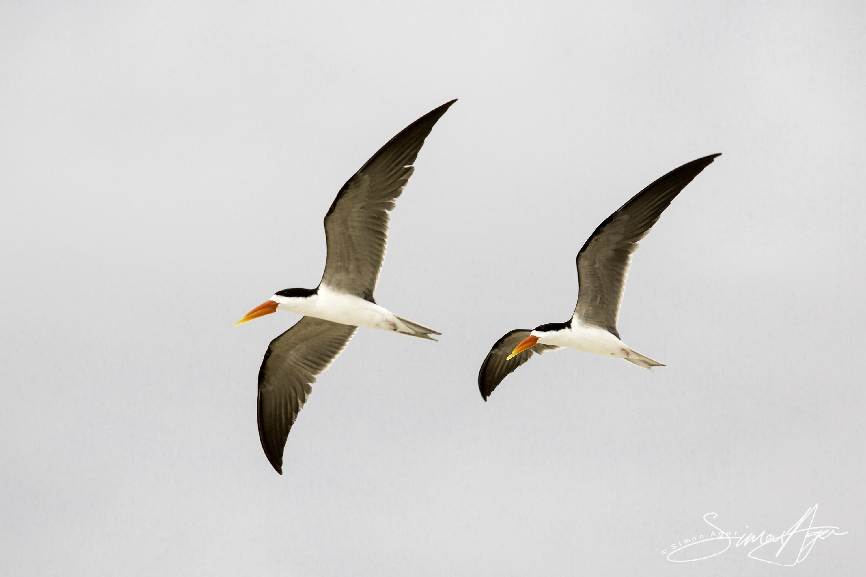 160705-SA-Myumba-Royal-Terns-fly-overhead-7148
