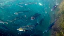 170802-SA-Farmed-Atlantic-salmon-at-Sonora-Point-002-2