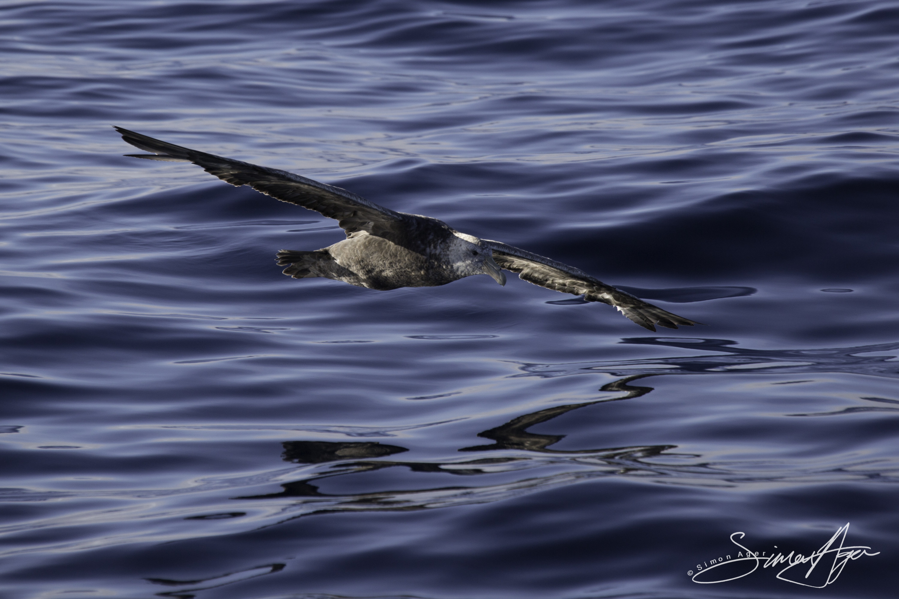 170218-SA-Giant-Petrel-running-start-for-takeoff-003-7482