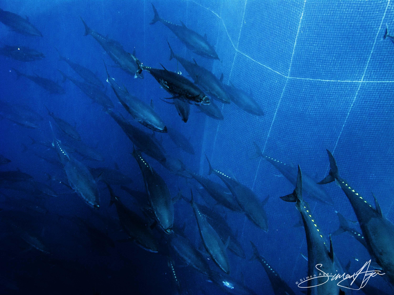 SA Libyan Waters Sea Shepherd Releasing Bluefin Tuna Net 029 3365