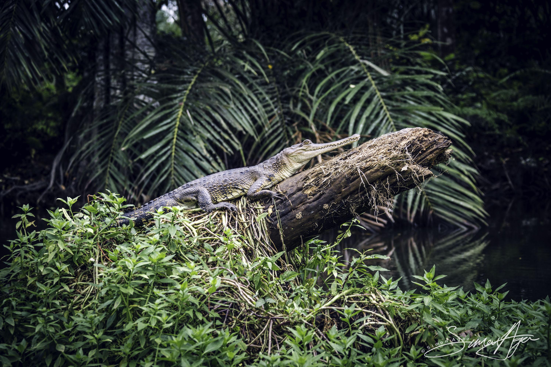 160618-SA-066A5278 Crocodiles