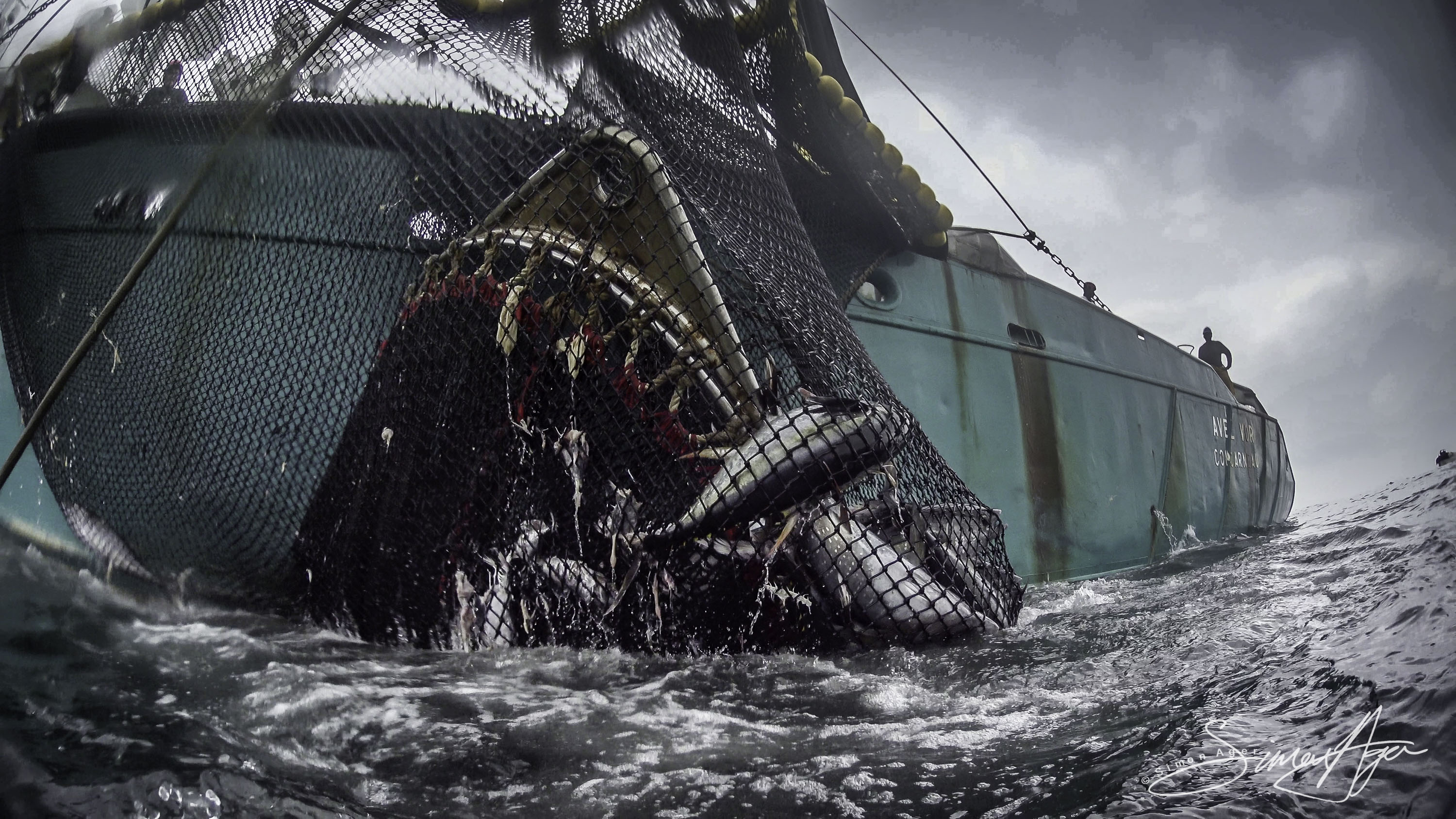 160710-SA-Greenback-turtle-trapped-in-purse-seiner-net-during-haul-978