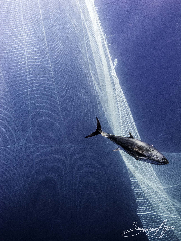 SA Libyan Waters Sea Shepherd Releasing Bluefin Tuna Escaping Through the Net 027 3362