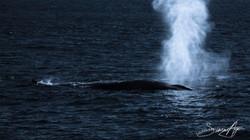 170221-SA-Fin-whales-moonlit-001-8036