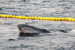 160706-SA-Gevred-BB-crew-assist-in-release-of-Bryds-whale-from-purse-seiner-net-7377