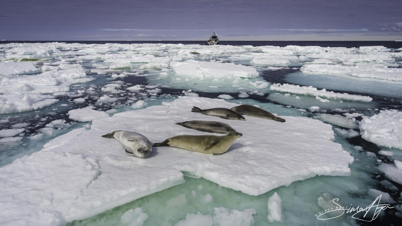 170205-SA-Fur-seals-laze-around-on-ice-pans-007-0329