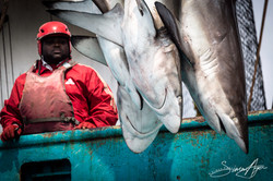 160704-SA-Geuotec-shark-bycatch-dumped-into-the-ocean-7063