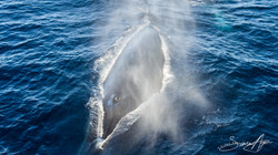 170221-SA-Fin-whale-spout-003-0023