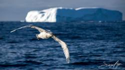 170218-SA-Petrel-in-flight-001-7565