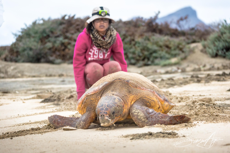 140818-SA-001-Head-marine-biologist-Patrica-watches-Loggerhead-returns-to-ocean-after-unsuccessful-n