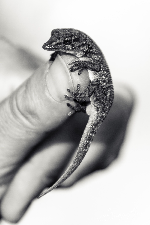 Cabo Verde Gecko