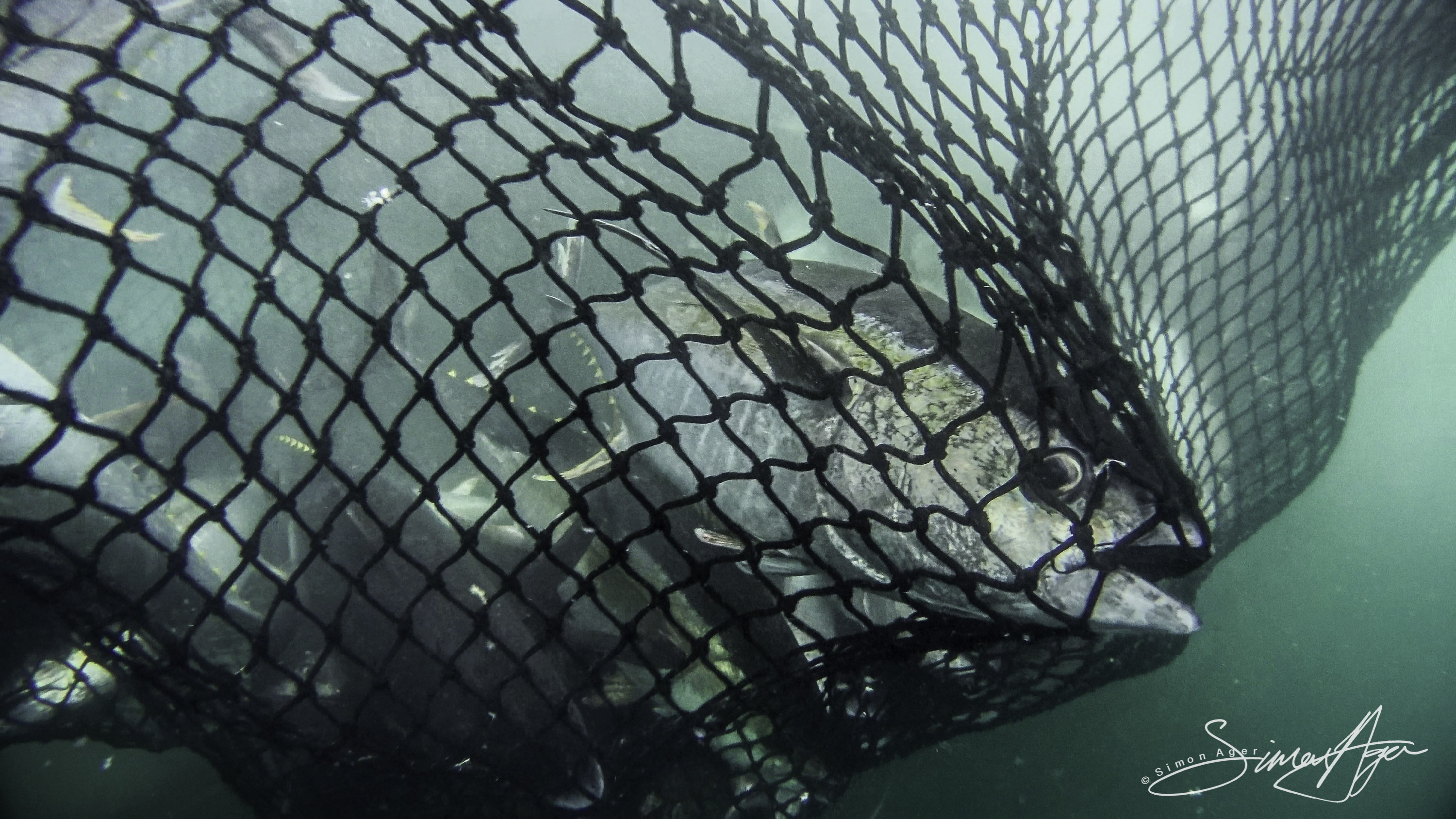160710-SA-Greenback-turtle-trapped-in-purse-seiner-net-during-haul-697