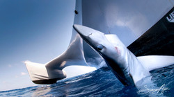 190212-OM-SA-A_lifeless_Blue_shark_haule