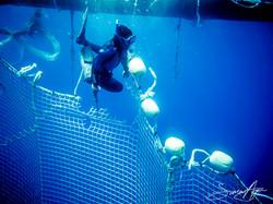 SA Libyan Waters Sea Shepherd Releasing Bluefin Tuna Diver Tuna Net 007 3340