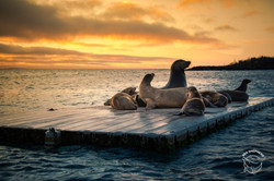 180915-OJC-SA-Galapagos-sealions-settle-