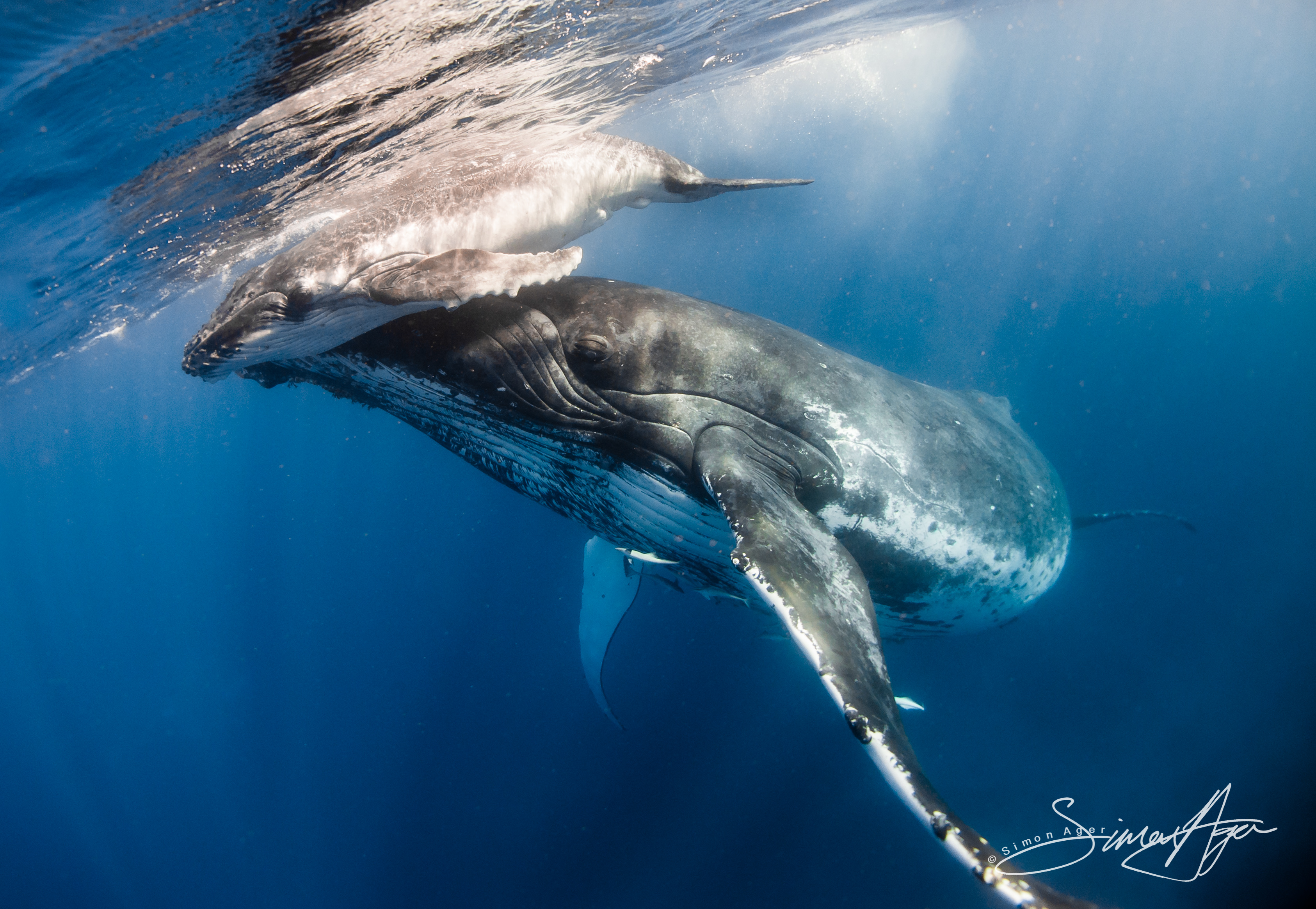 120802_SA_Tonga_mother_humpback_pushes_calf_to_surface_to_breathe_006_6286